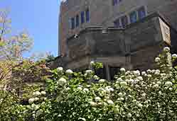 Trumbull college courtyard flowers.
